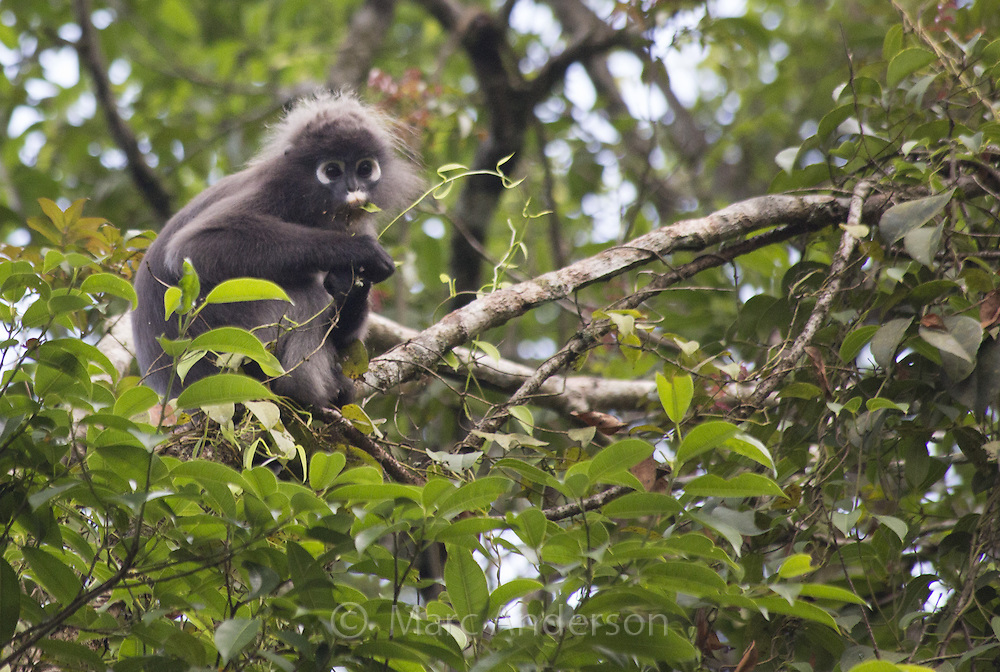 Dusky Langur (Trachypithecus obscurus) feeding in a rainforest tree, Fraser's Hill, Malaysia