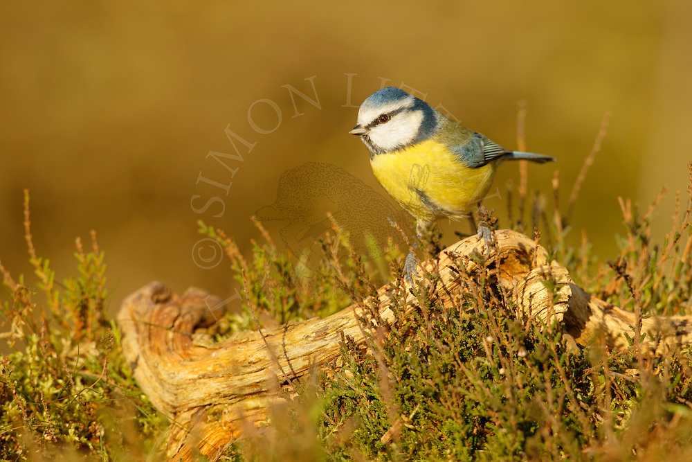 Blue Tit (Parus caeruleus) adult on fallen branch in heathland, Norfolk, UK.
