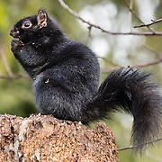 Black squirrel in Stanley Park, Vancouver, British Columbia, Canada. The black squirrel (Sciurus carolinensis) is a melanistic (dark-colored) subgroup of the eastern gray squirrel. Vancouver has a growing population of black squirrels after they were introduced to the Stanley Park Peninsula before 1914. The squirrels have thrived and spread throughout the Vancouver area. Black squirrels are common in the Midwestern United States, Ontario, Quebec, parts of the Northeastern United States and the United Kingdom.