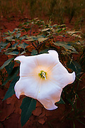 This white flower, known as the Sacred Datura, is commonly found in late summer and early fall in the Grand Canyon. While it is beautiful to look at, it is also poisonous. The flower opens at nearly full dark and will wither a few hours after sunrise the following morning.