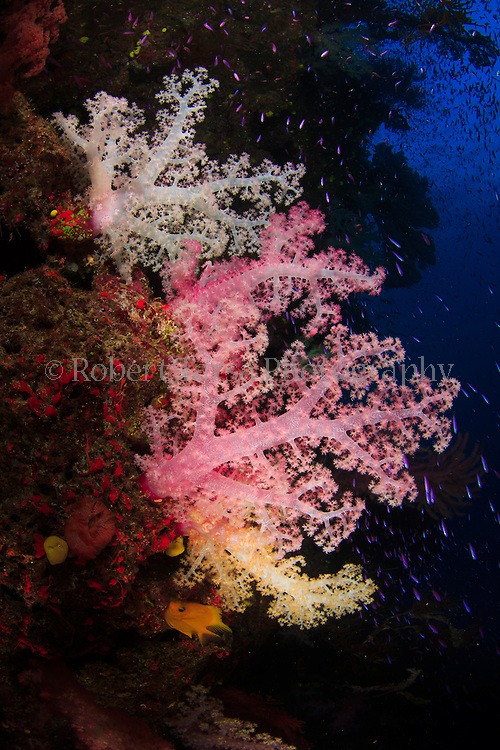 Inflated soft corals feeding in running ocean current on Fijian reef.