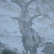 Two male Gredos Spanish Ibex (Capra pyrenaica victoriae) in a snow storm..Sierra de Gredos..Spain