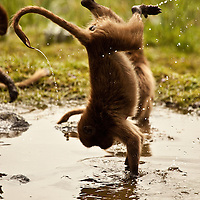 Gelada baboons playing in a puddle of water on the Guassa Plateau of Ethiopia