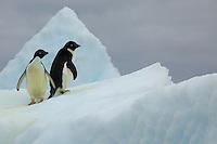 Adelie Penguins (Pygoscelis adeliae) on an iceberg.