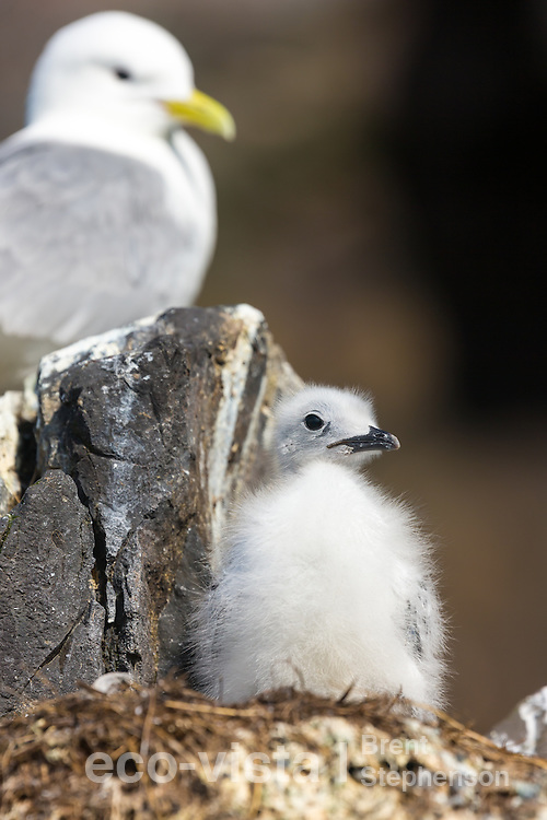 A single black-legged kittiwake (Rissa tridactyla) chick stands on the nest alone, whilst an adult sits on an empty nest in the background. To be left at this early stage is not a good sign, and perhaps an indicator that food is limited this breeding season, with both adults being at sea looking for food. Flatey, West Fjords, Iceland. July.