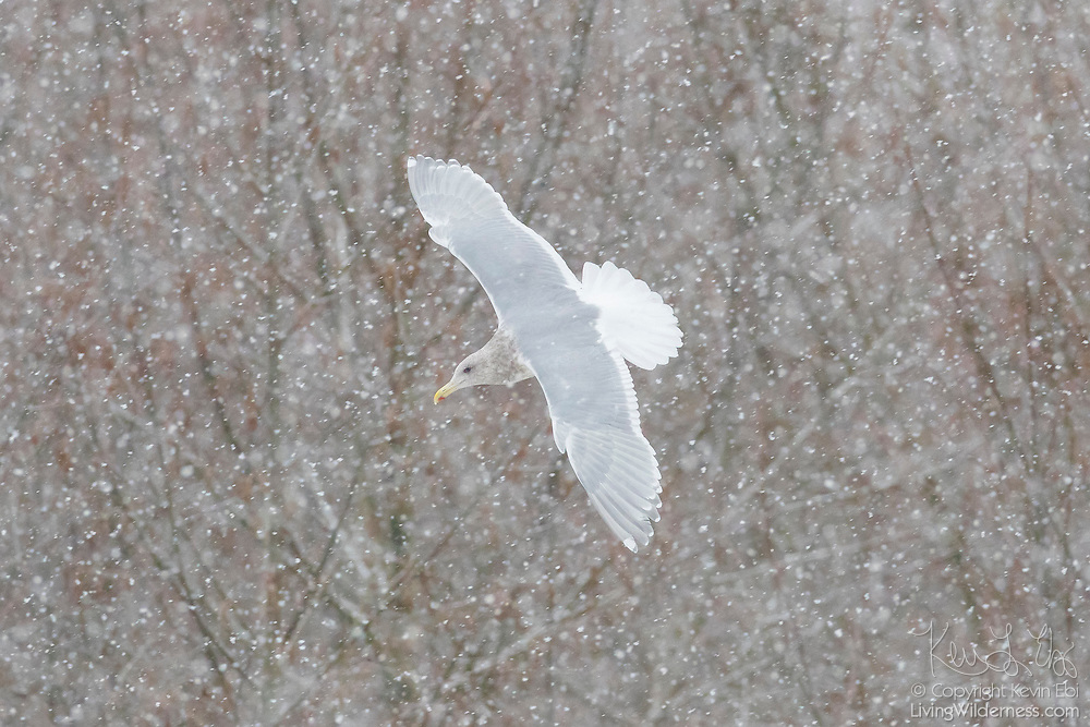 A Glaucous-Winged Gull flies during a snow storm a forested area along the Nooksack River near Welcome, Washington.
