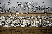 Goose Hunting Stock Photos