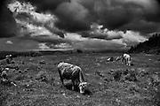 Cows in the mountains near Rosia Poieni in Transilvania.