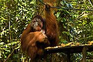 """Richie' the dominant male of the Semenggoh Wildlife Center"