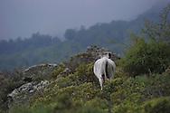 14/06/15 - REGION DE CORTE - HAUTE CORSE - FRANCE - Vache de race Corse dans le maquis - Photo Jerome CHABANNE