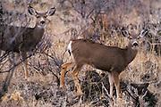 Mule Deer pair; Lava Beds National Monument, Northern California.