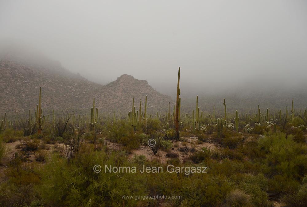 Winter storms brought rain to Saguaro National Park West, Sonoran Desert, Tucson, Arizona, USA.