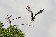 Osprey (Pandion haliaetus)<br /> Champot&oacute;n River (Campeche) Mexico<br /> Canon EOS-1D Mark IV+EF 300 mm f/2.8L IS USM + 1.4x<br /> 1/5000 s at f/5.6 <br /> ISO 250<br /> 4640x3093 (originally 4896x3264)<br /> No post-processing beyond lens profile and minor dust spotting, global saturation, exposure adjustment, noise reduction, sharpening and cropping.