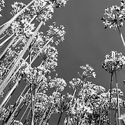 Black and white of Garlic Chive flowers with bee flying