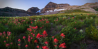 Indian Paintbrush wildflowers sway in the breeze on Utah's Mount Timpanogos on a cool Summer morning as the sun begins to shine over the mountain and the peak looms in the background.