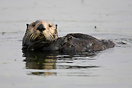 A California Sea Otter (Enhydra lutris) holds its tail while anchored in Eelgrass (Zostera marina)  - Elkhorn Slough, California