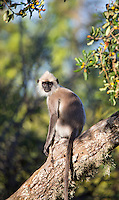 Sri Lanka Gray Langur (Semnopithecus entellus), Yala National Park, Sri Lanka