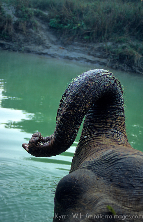 Asia, Nepal, Chitwan. Asian Elephant crossing river.