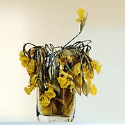 Dried flowers still keep the color, and the structure of the flower is even more visual now. Here is my mother's easter lilies after they dried up. <br /> <br /> T&oslash;rkede blomster beholder fargen,og strukturen blir enda mer tydelig. Vasen inneholder p&aring;skeliljer som min mor lot t&oslash;rke.