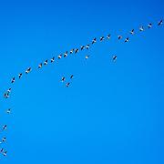Migratory birds - trekkfugl