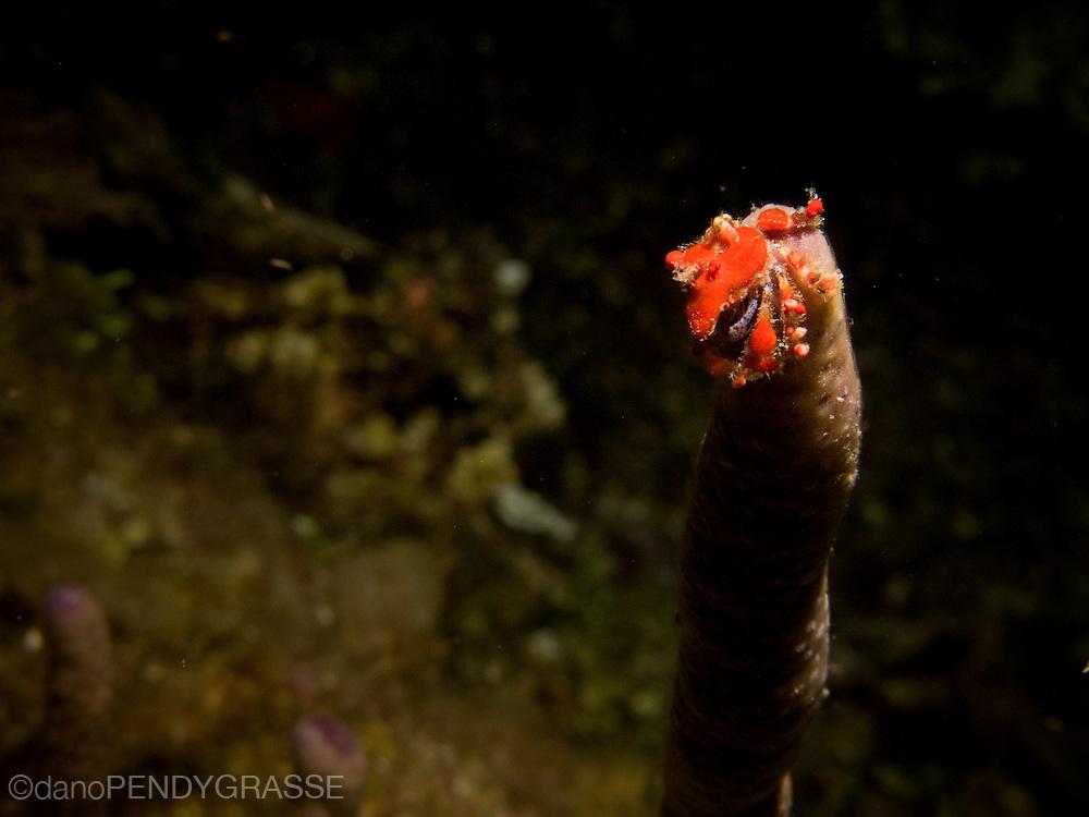 A cryptic teardrop crab (Pelia mutica) perches on a narrow coral on a night dive in Roatan, Honduras.