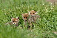 Blind and helpless at birth, coyote pups will stay in their den for up to four weeks as they quickly mature. Once they are strong enough, the pups will venture outside the den for short periods. This trio of youngsters spent a few hours playing and napping in the tall grass before returning to the safety of their den.