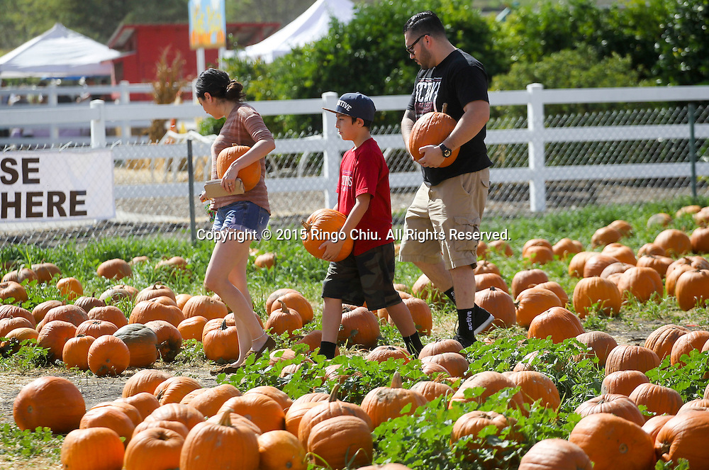 People look for the perfect pumpkin at a pumpkin patch in Cal Poly Pomona, California October 24, 2015. Americans are buying pumpkins, squash, gourds and dried corn as decoration for Halloween which falls on 31 October each year.  (Photo by Ringo Chiu/PHOTOFORMULA.com)