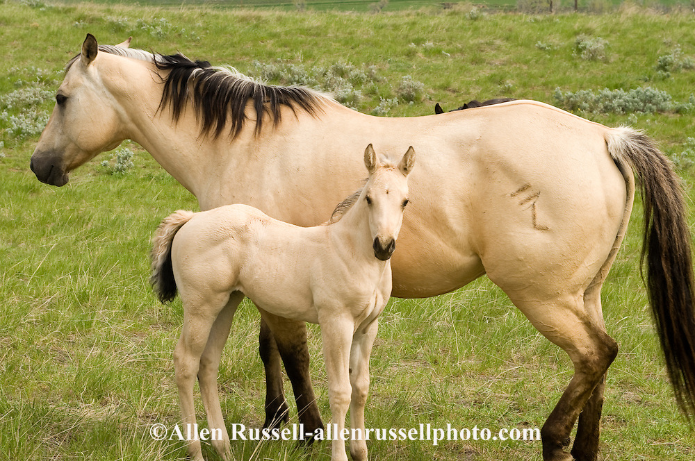 Buckskin Paint Filly For Sale