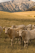 Yearling Charolais beef cattle on pasture northwest of Augusta Montana