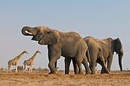 Elephant, Loxodonta africana, and giraffes, Etosha National Park, Namibia
