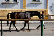 The Portuguese National Horse Fair in Golega exists since the 18th century and occurs every year in the little village in center Portugal. It&acute;s aim is to celebrate the Portuguese Horse, the genuine Lusitanian.<br /> For one week all the country horse lovers gather in Golega to race, to see and be seen with their proud Lusitanian horses.<br /> The genuine Lusitanian Horse is one of the most important and expensive horse breeds in the world.  NO SALES IN PORTUGAL