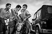 Men and boys manually catch and wrangle loose swine into waiting truck in rural Myanmar.