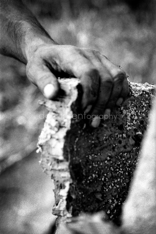 It takes 12 years for the bark to be thick enough to be made into a cork stopper. Because of that, the harvesters follow an ancient division of the hills, making sure they only visit each tree every 12 years...