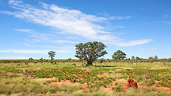 Several boabs scattered amongst spinifex termite mounds on the road to Fitzroy Crosing in the Kimberley wet season.  The spinifex termites build mounds that can reach several meters in height.