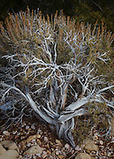 A Big Sagebrush at Grand Canyon National Park.