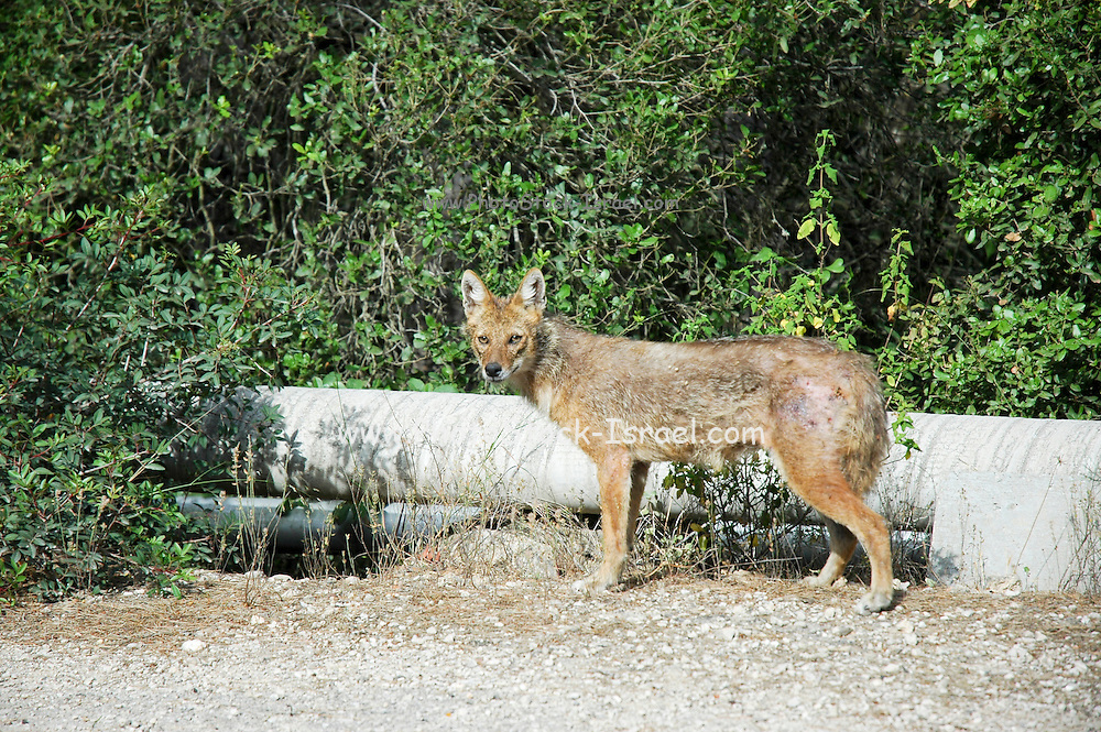 Golden Jackal (Canis aureus), also called the Asiatic, Oriental or Common Jackal, Israel.