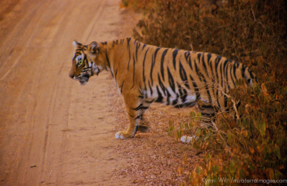 Asia, India, Ranthambore. Tiger crossing road at Ranthambore.