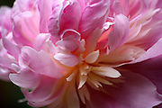 Explosion of pink. Sarah Berhnardt Peony close up of petals.