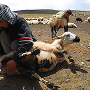 Treating maggots for parasitic infections. These boys are part of a transitional generation: they spend their summers on the yayla helping out as shepherds but, unlike their parents, attend public school nine months a year in a village.