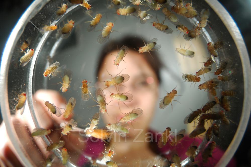 Researcher Dr. Anne von Philipsborn (Research Institute of Molecular Pathology (IMP) in Vienna) sorting a Fruit Fly (Drosophila melanogaster) lab culture | Dr. Anne von Philipsborn, Wissenschaftlerin im Wiener IMP kontrolliert in einem Zuchtansatz von Taufliegen (Drosophila melanogaster), welche der geschlüpften Tiere tatsächlich die bei der vorangegangenen Genmanipulation angesteuerten Eigenschaften ausgebildet hat.