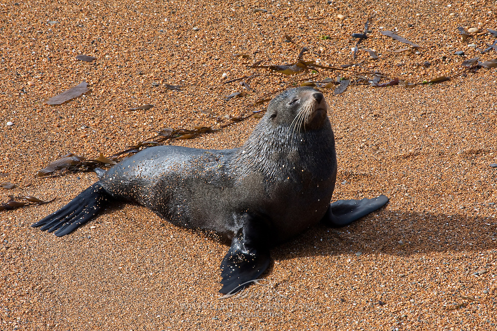 New Zealand Fur Seal, Moeraki