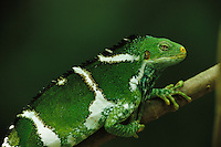 Close view of a Fijian crested iguana, Brachylophus vitiensis.