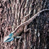 A blue headed lizard on a tree, Pai, Thailand