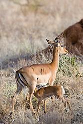 Female Impala breast-fed her baby.  Samburu National Reserve, is located on the banks of the Ewaso Nyiro River in Kenya; Africa. There is a wide variety of animal and bird life seen at Samburu National Reserve / Impala amamenta seu filhote em Samburu, localizado no Rift Valley, no Quenia. Eh um dos grandes parques nacionais do Quenia, na Africa importante refugio de vida selvagem