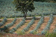 Field of agave plants used for Tequila production surround the hillsides of the town of Tequlia, near Guadalajara, Mexico