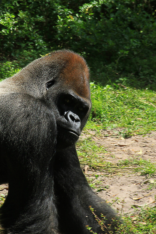 A large silver back alpha male gorilla looks back over his shoulder after having a fight with another male in the group