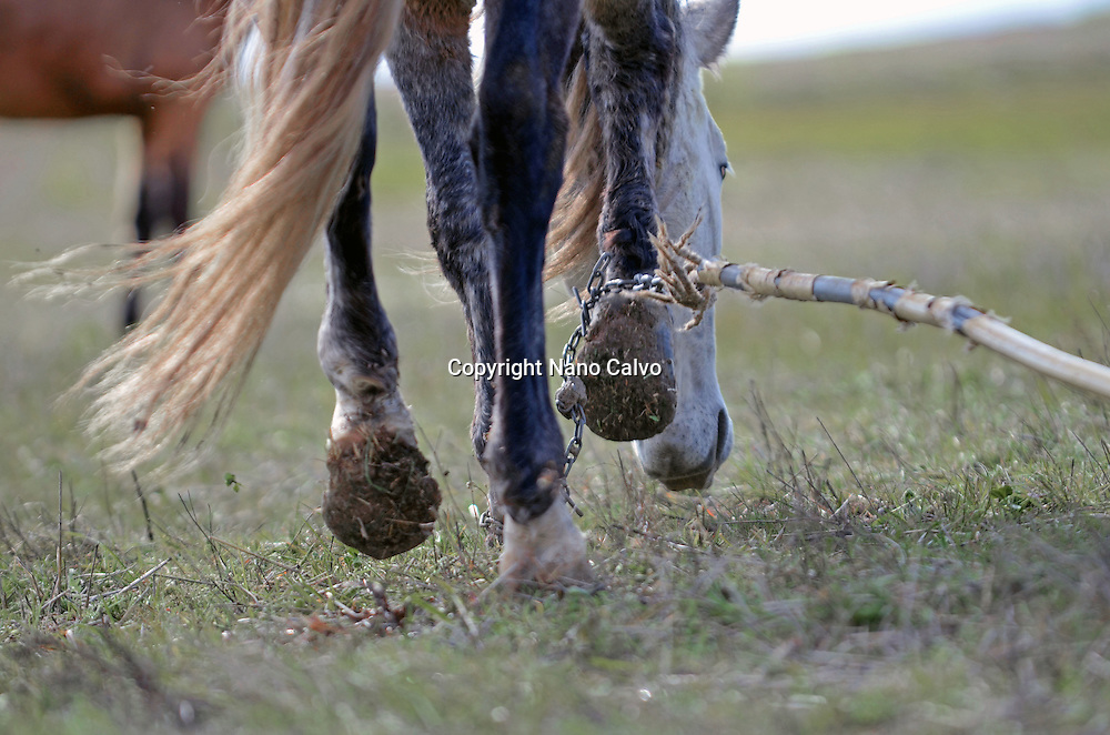Chained Horses: In spite of being banned in some parts of Spain, and the obvious damage they cause the horses, there are owners that keep using traps or chains to limite their movements and keep them under control.