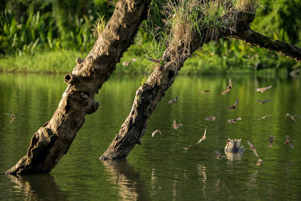 South America, Peru, Amazonia,South Manu National Park South America; Peru; Amazonia; Manu; National Park; UNESCO; World Heritage;bats on log