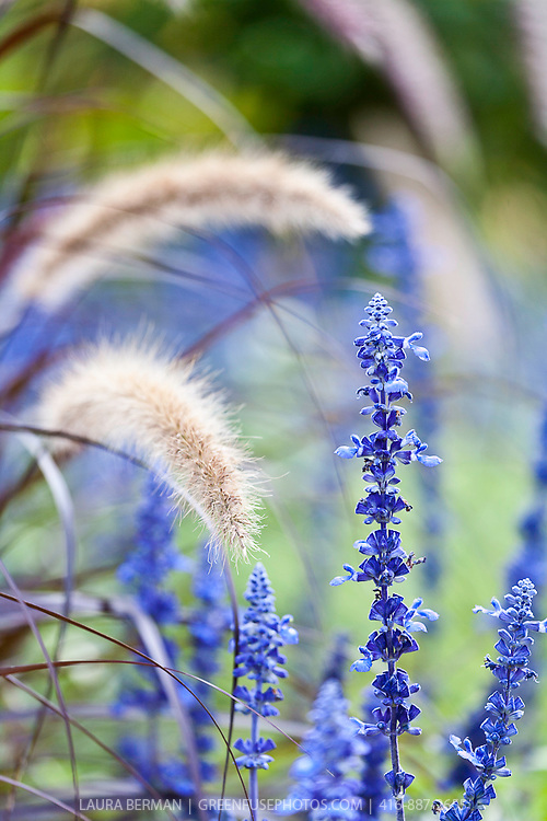 Victoria blue salvia salvia farinacea 39 victoria blue and for Ornamental grass with purple plumes