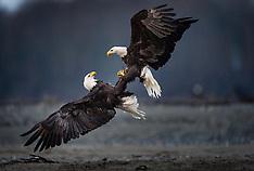 Bald eagles - Chilkat River, Chilkoot River, Alaska